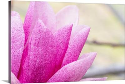Photo Nature - Pink Magnolia