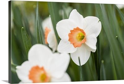 Photo Nature - Sunset Daffodils