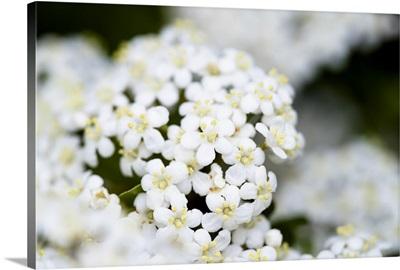 Photo Nature - White Yarrow