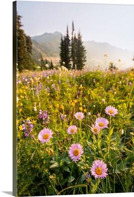 Pink Mountain Daisy, Mount Rainier National Park, Washington