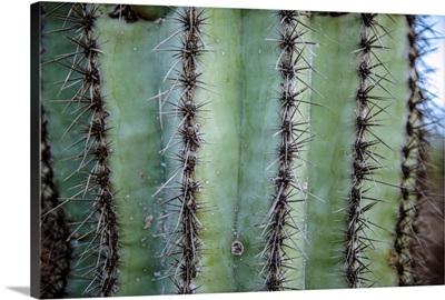 Prickly Cactus In Phoenix, Arizona