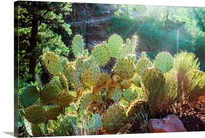 Prickly Pear In Sedona, Arizona