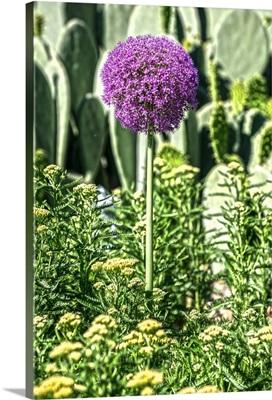 Purple Allium with Opuntia and Yarrow