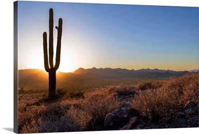Saguaro Cactus At Sunset In Phoenix, Arizona