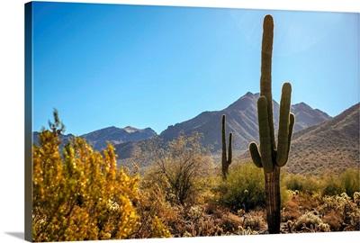 Saguaro Cactus In Phoenix, Arizona