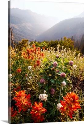 Scarlet Paintbrush And Wildflowers, Mount Rainier National Park, Washington