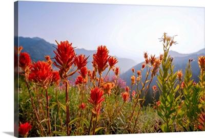 Scarlet Paintbrush, Mount Rainier National Park, Washington