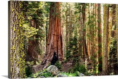 Sequoia Forest, Sequoia National Park, California