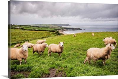 Sheep on the Coast, County Antrim, Northern Ireland, UK