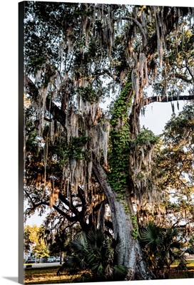 Spanish Moss Hangs On A Tree In New Orleans, Louisiana