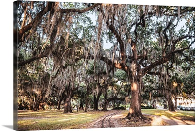 Spanish Moss Hangs On Trees In New Orleans, Louisiana