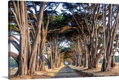 Tunnel Of Monterey Cypress Trees, Point Reyes Peninsula Near San Francisco