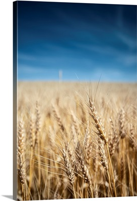 Wheat Field, Banff National Park, Alberta, Canada