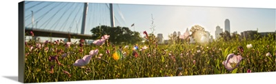 Wildflowers in Dallas