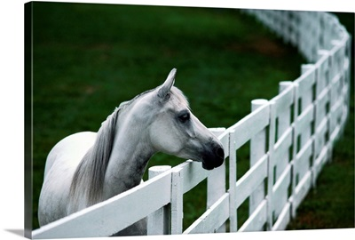 A horse standing next to a white fence, Kentucky