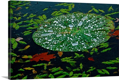 A water lily pad holds droplets of rain
