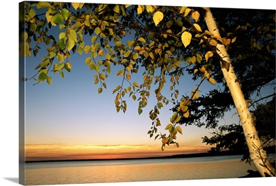Birch tree leaves highlighted at sunset on Clear Lake