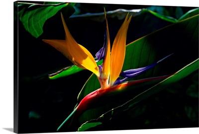 Bird of Paradise flower, Captiva Island, Florida