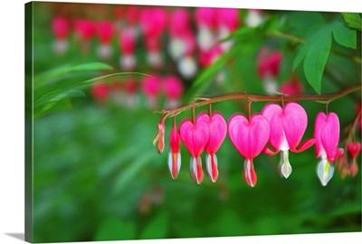 Bleeding heart flowers, Dicentra spectabilis, in bloom