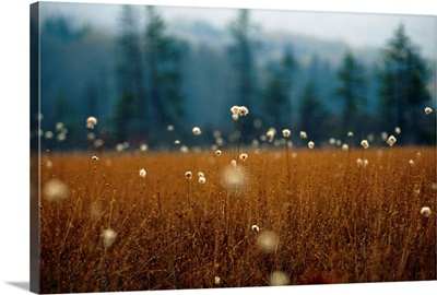 Cotton grass, sedges and a red spruce forest in a bog