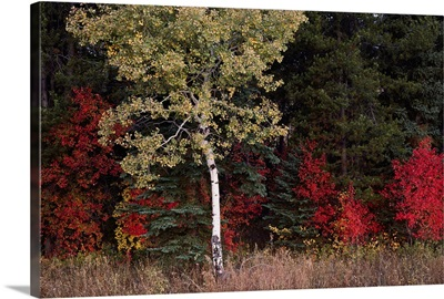 Flaming shrubs and a slender quaking aspen against a canvas of lodgepole pine