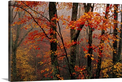 Fog and colorful maple leaves in Appalachian forest on Paint Mt. Road