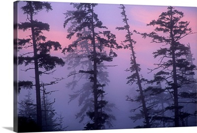 Morning fog shrouds trees, Pacific Rim National Park Reserve, Vancouver Island, Canada