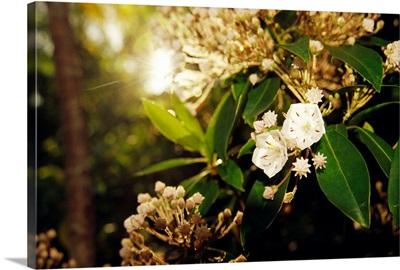 Mountain laurel in bloom in early morning light