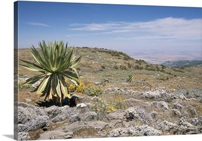 A single giant lobelia, Bale Mountains, Southern Highlands, Ethiopia, Africa