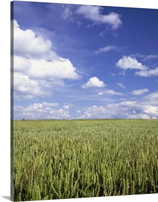 A wheat field and blue sky with white clouds in England, UK