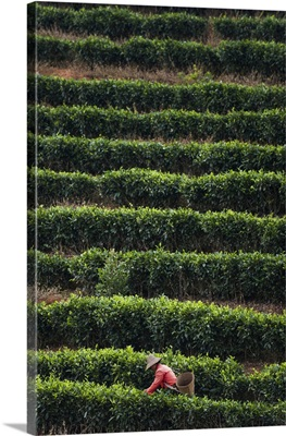 A Woman Collects Tea Leaves On A Puer Tea Estate In Yunnan Province, China