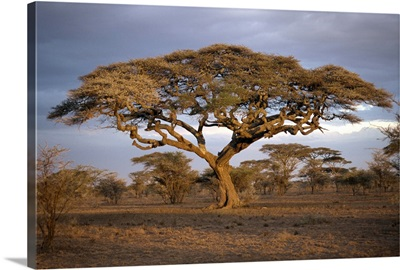 Acacia tree (Acacia Tortilis), Serengeti, Tanzania, East Africa, Africa
