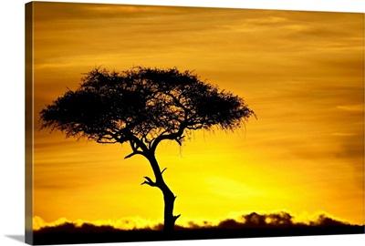 Acacia tree at dawn, Masai Mara National Reserve, Kenya, East Africa, Africa
