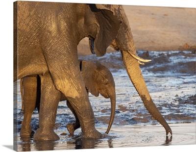African Bush Elephant Mother And Calf, Hwange National Park, Zimbabwe, Africa