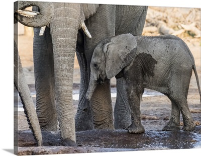 African Elephant, Calf Drinking At Watering Hole In The Okavango Delta, Botswana, Africa
