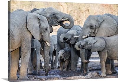 African Elephant, Herd Drinking At Watering Hole In The Okavango Delta, Botswana, Africa