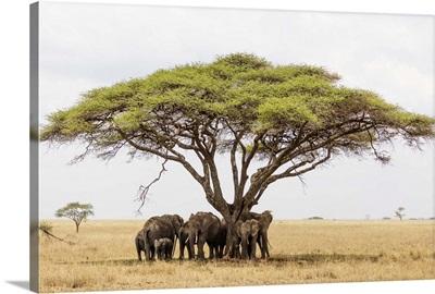 African Elephant, Serengeti National Park, Tanzania