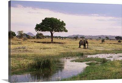 African elephant, Tarangire National Park, Tanzania, East Africa
