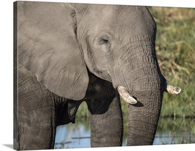 African Elephant, Tusk Detail In Chobe National Park, Botswana, Africa