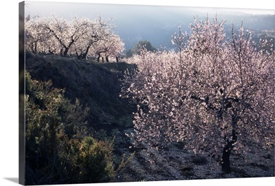 Almond blossom in spring, Costa Blanca, Valencia region, Spain, Europe