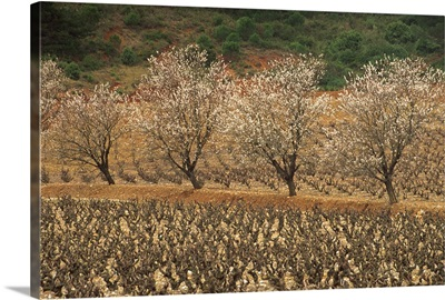 Almond trees in blossom in spring in a vineyard, Languedoc Roussillon, France