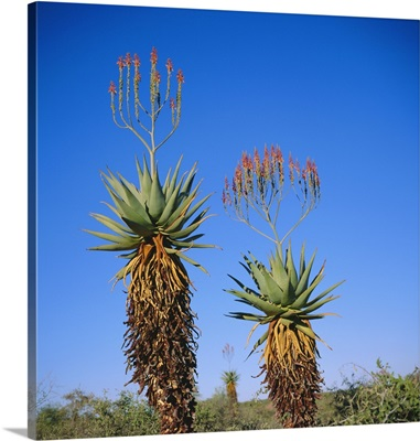 Aloe species in the desert on the border of Botswana and Namibia, Africa