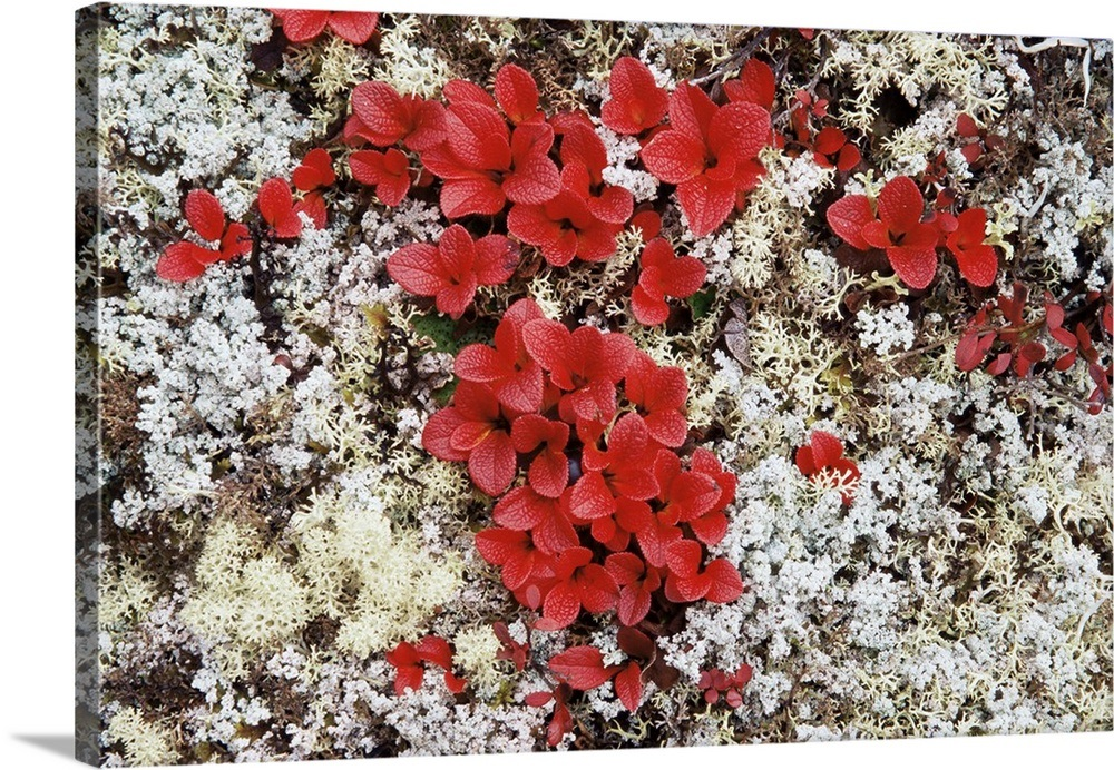 Alpine bearberry in fall color on the tundra, Denali National Park, Alaska