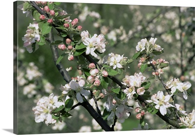 Apple trees in blossom, Normandy, France, Europe