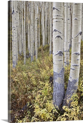 Aspen grove in early fall, White River National Forest, Colorado