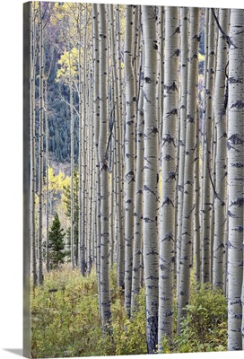 Aspen grove with early fall colors, Maroon Lake, Colorado