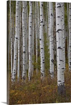 Aspen trunks in the fall, White River National Forest, Colorado