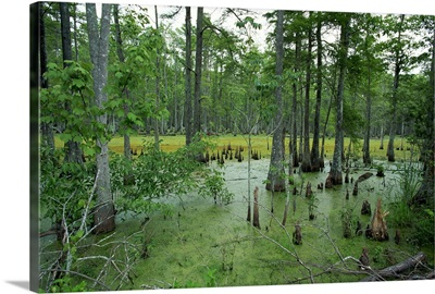 Atchofalaya Swamp in the heart of Cajun Country, near Gibson, Louisiana