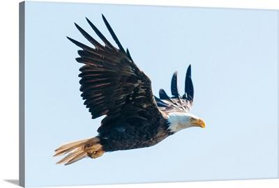 Bald eagle, British Columbia, Canada, North America