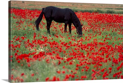 Black horse in a poppy field, Chianti, Tuscany, Italy